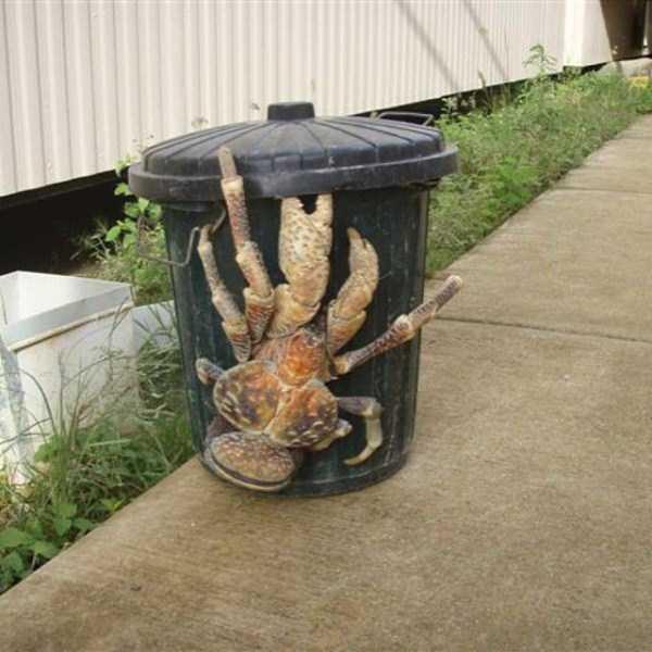 coconut-crabs (3)