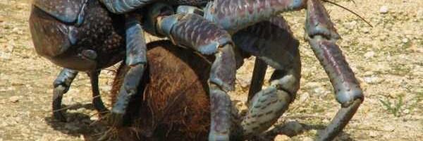 coconut-crabs (5)