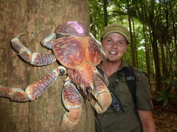 coconut-crabs (7)