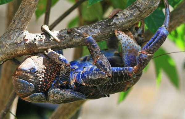 coconut-crabs (8)