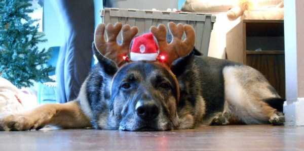 Animals Who Just Don't Care About Christmas (32 photos) 29