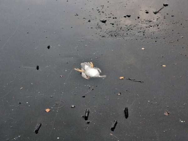 A Brave Man Risks His Life to Save a Duck From Under the Ice (4 photos) 1