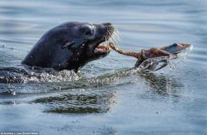 A Hungry Seal vs Octopus (10 photos) 3
