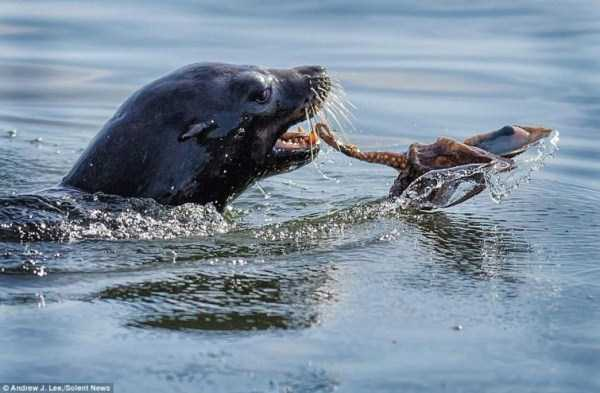 A Hungry Seal vs Octopus (10 photos) 3