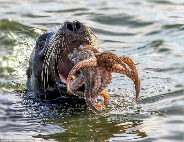 seal-vs-octopus (5)