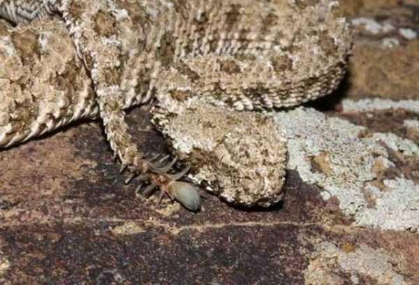 Pseudocerastes-snake (1)