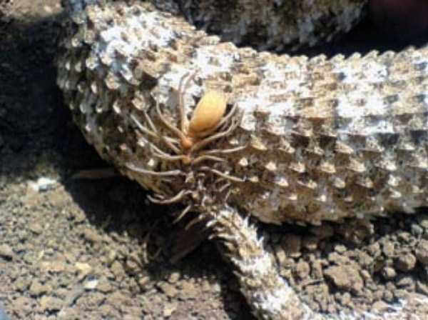 Pseudocerastes-snake (3)