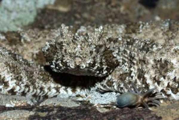 Pseudocerastes-snake (4)