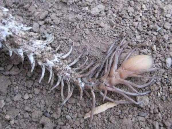 Pseudocerastes-snake (5)