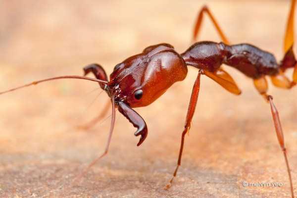 macro-pictures-of-ants (13)