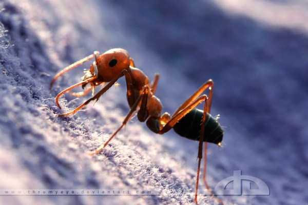 macro-pictures-of-ants (15)