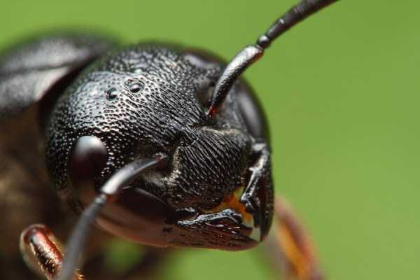 macro-pictures-of-ants (16)
