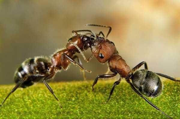 macro-pictures-of-ants (2)