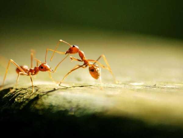 macro-pictures-of-ants (20)