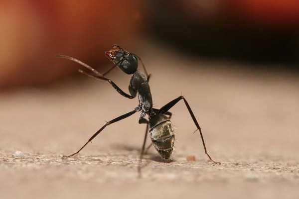 macro-pictures-of-ants (23)