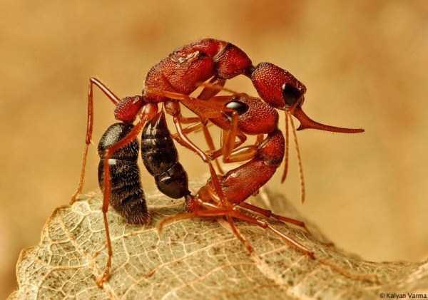 macro-pictures-of-ants (24)