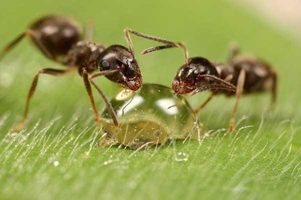 macro-pictures-of-ants (25)