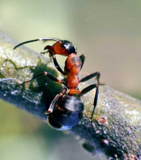 macro-pictures-of-ants (8)