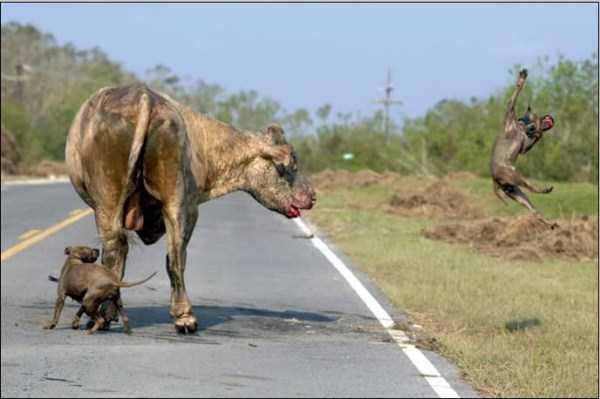 pit-bulls-vs-bull (1)