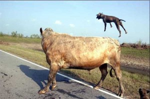 What Happens When Pit Bulls Attack a Bull (4 photos) 2
