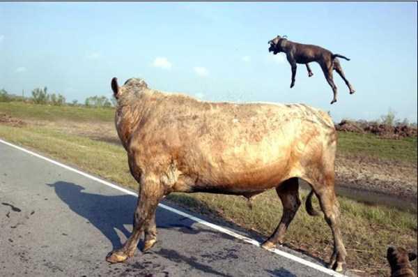 pit-bulls-vs-bull (2)
