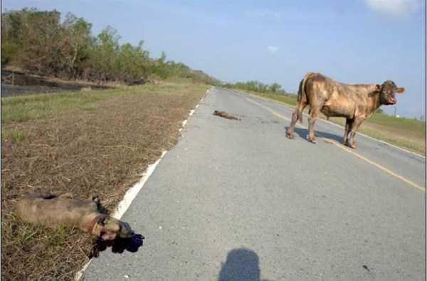 pit-bulls-vs-bull (3)