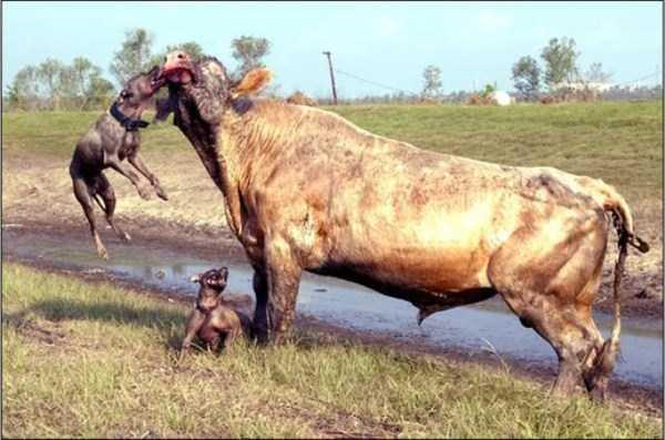 pit-bulls-vs-bull (4)