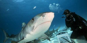Scary Tiger Shark Jaws (7 photos) 1
