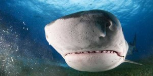 Scary Tiger Shark Jaws (7 photos) 4