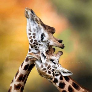 50 Adorable Animal Couples (50 photos) 22