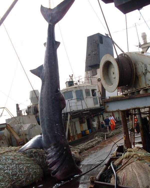 big-shark-caught-in-the-net (6)