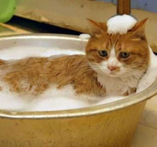 Some Cats Actually Enjoy the Water (33 photos)