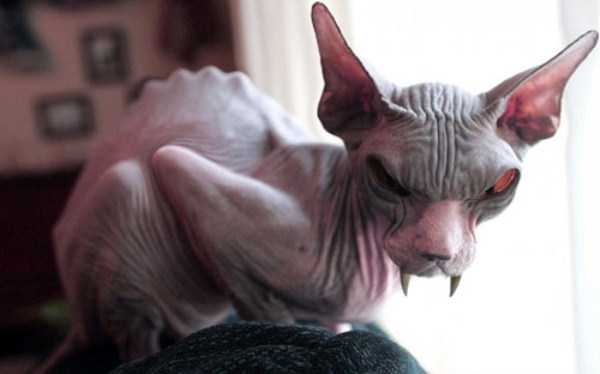 Evil-Looking Cats Who Secretly Want You Dead (35 photos) 5