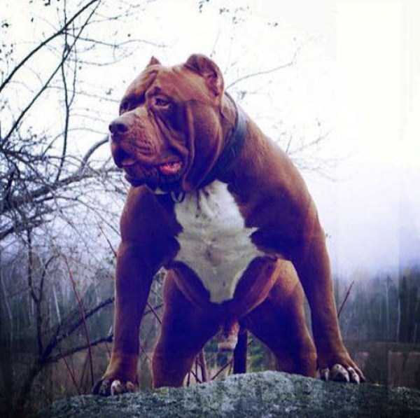 hulk-is-the-biggest-pitbull-in-the-world (10)