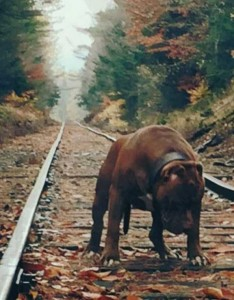A Pit Bull of Gigantic Proportions (23 photos) 14