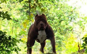A Pit Bull of Gigantic Proportions (23 photos) 15