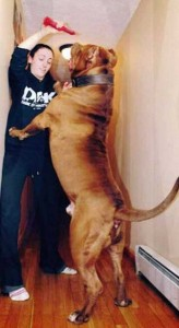 A Pit Bull of Gigantic Proportions (23 photos) 22