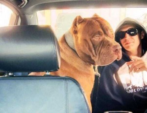 A Pit Bull of Gigantic Proportions (23 photos) 3