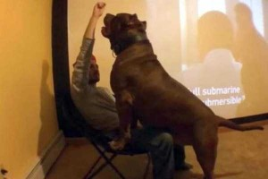 A Pit Bull of Gigantic Proportions (23 photos) 6
