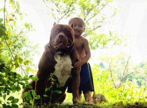 A Pit Bull of Gigantic Proportions (23 photos) 8