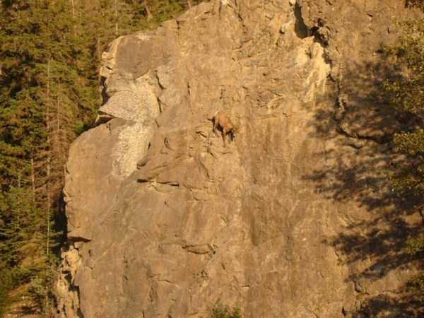 mountain-goats-climbing (10)