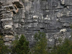 These Extraordinary Goats Are Able to Climb Almost Anywhere (25 photos) 11