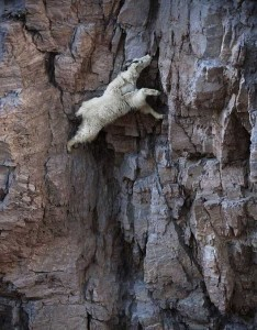 These Extraordinary Goats Are Able to Climb Almost Anywhere (25 photos) 12