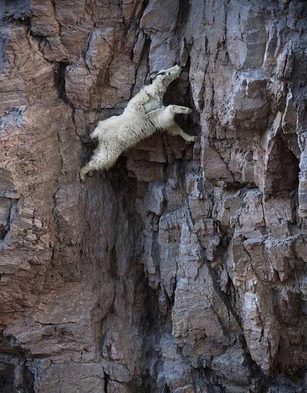 mountain-goats-climbing (12)
