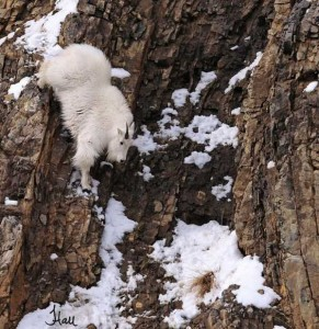 These Extraordinary Goats Are Able to Climb Almost Anywhere (25 photos) 13