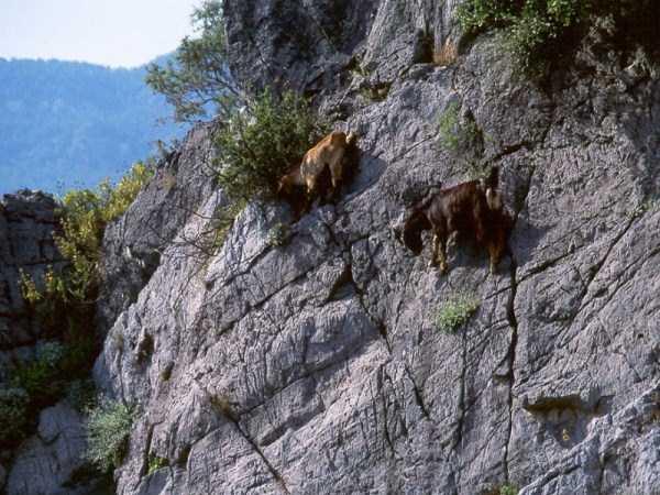 mountain-goats-climbing (14)