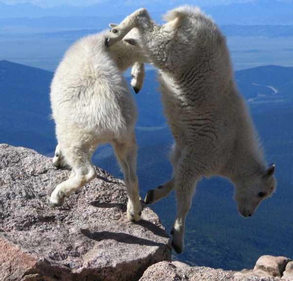 mountain-goats-climbing (15)