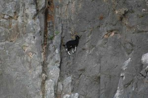 These Extraordinary Goats Are Able to Climb Almost Anywhere (25 photos) 16
