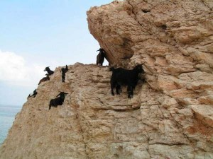 These Extraordinary Goats Are Able to Climb Almost Anywhere (25 photos) 17