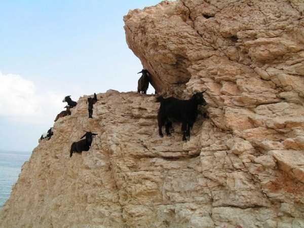mountain-goats-climbing (17)